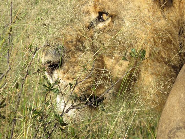 Light and Reflection - Lion, Khwai River, Botswana April 2016