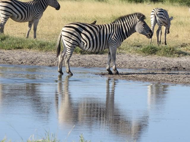 Light and Reflection - Zebra, Savuti, Botswana, April 2016