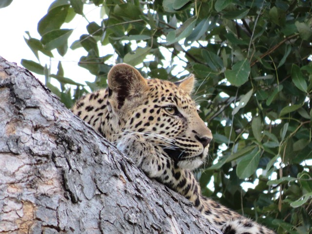Young leopard, Savuti, Botswana, May 2016