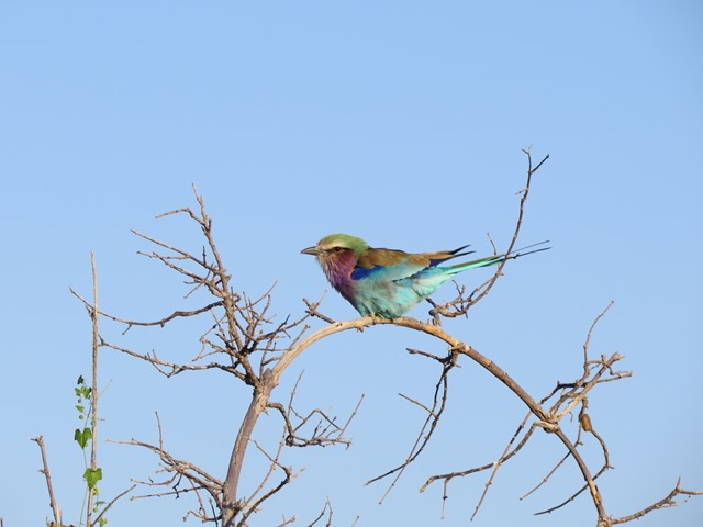 Lilac-breasted roller, Savuti, Botswana, May 2016