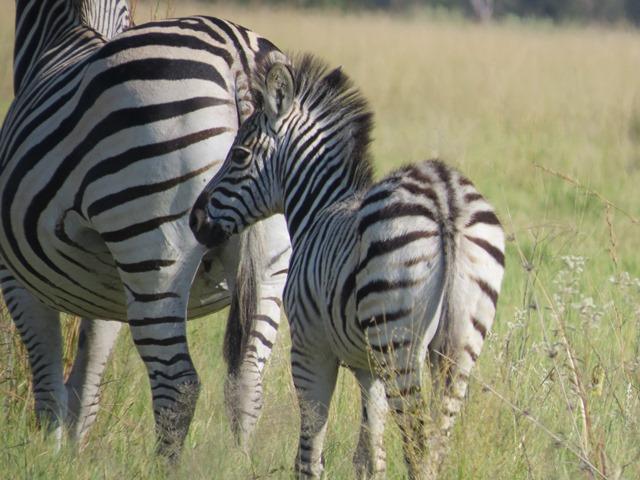 Baby zebra, Savuti, Botswana, May 2016