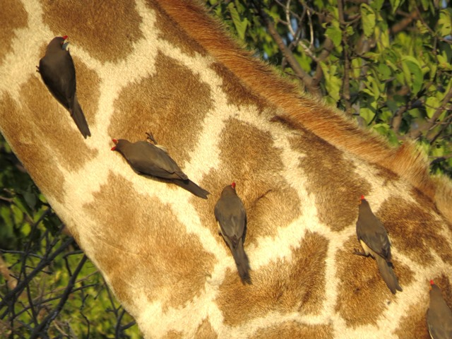 Ox peckers on a giraffe neck, Chobe, Botswana, May 2016