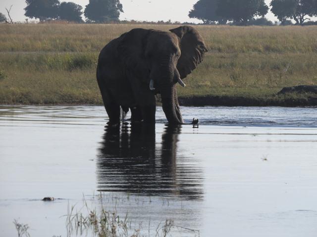 Light and Reflection - Elephant, Chobe, Botswana, May 2016