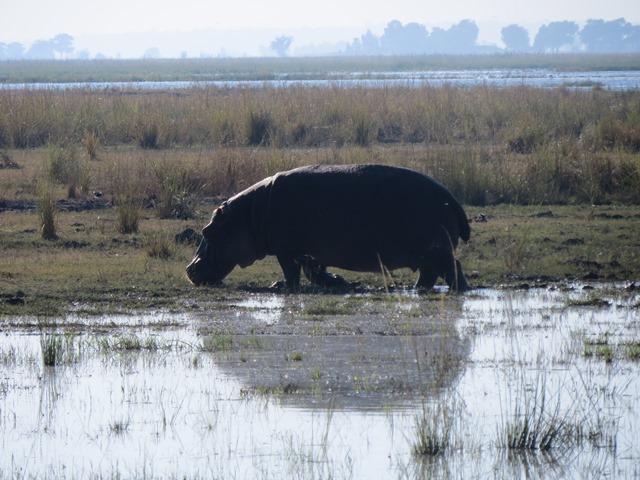 Light and Reflection - Hippo, Chobe, Botswana, May 2016