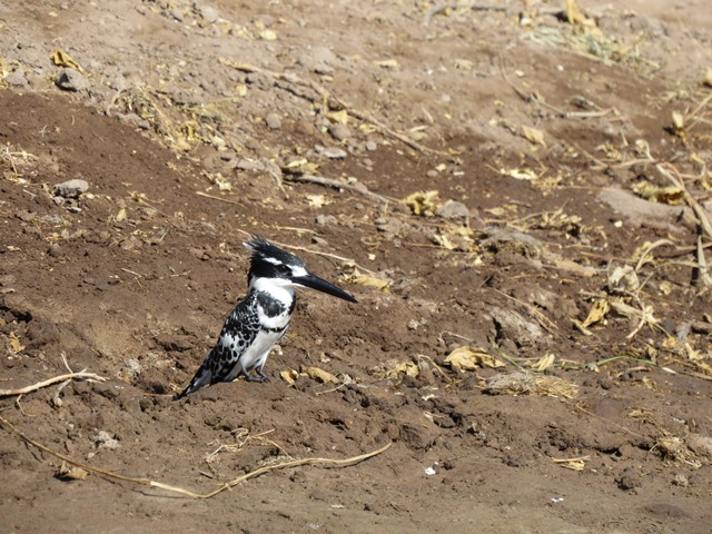 Pied kingfisher, Chobe, Botswana, May 2016