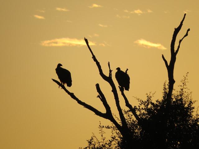 Light and Reflection - Vultures, Chobe, Botswana, May 2016