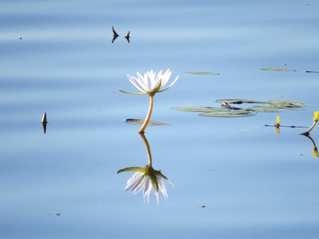 Light and Reflection - Water Lily, Chobe, Botswana, May 2016