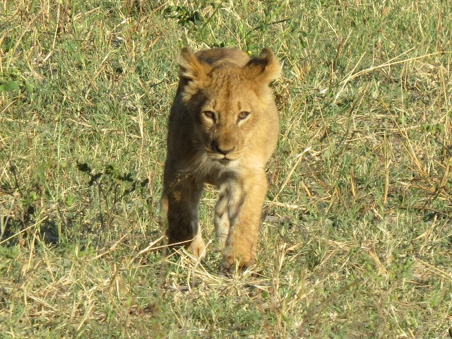 Lion cub, Chobe, Botswana, May 2016