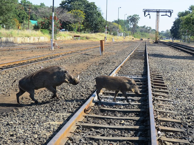 Warthogs crossing railway tracks, Victoria Falls, Zimbabwe, May 2016
