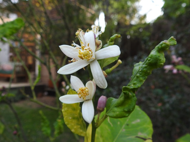 lemon flowers