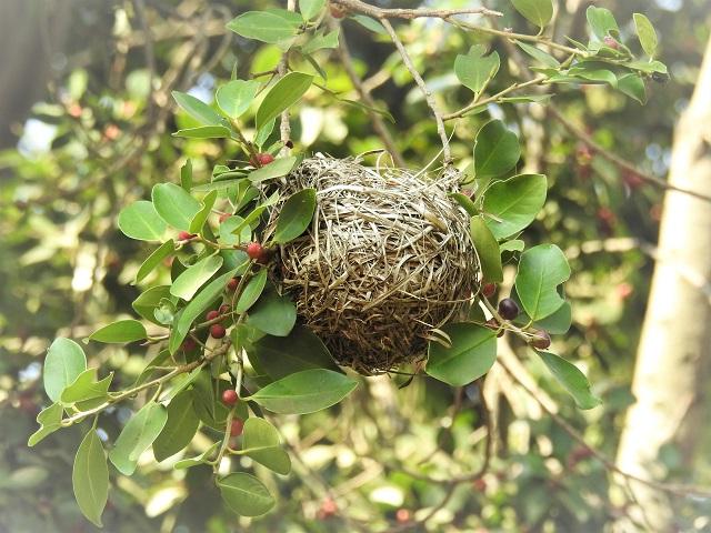 southern masked weaver's nest