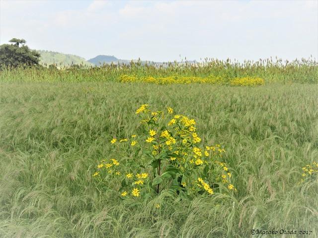 Tef field