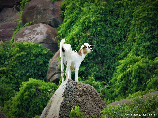 Goat on rock
