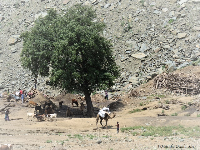 Camels and cows under big tree