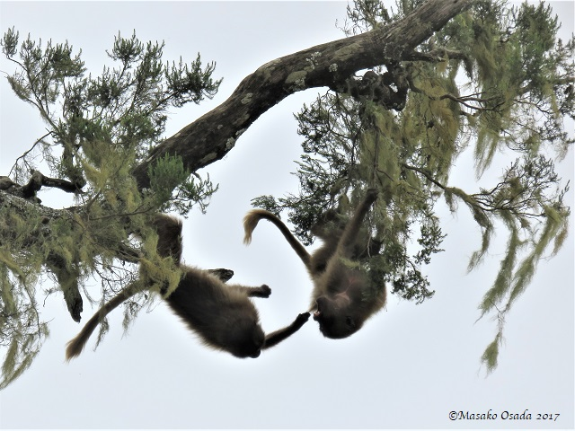 Geladas play-fighting