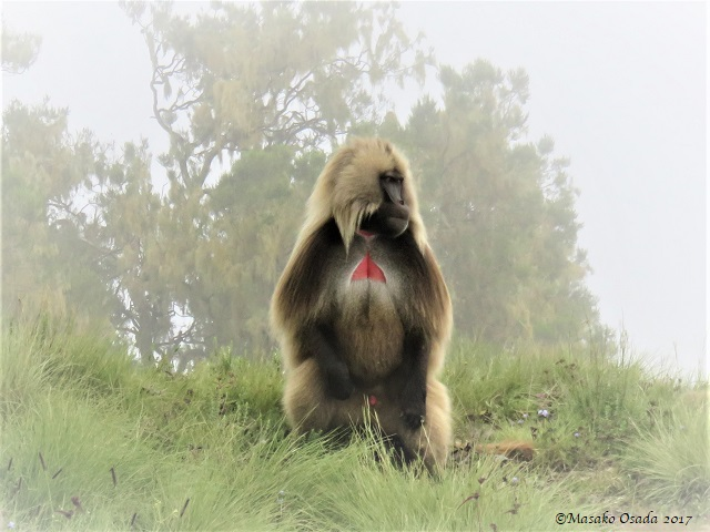 Adult male gelada