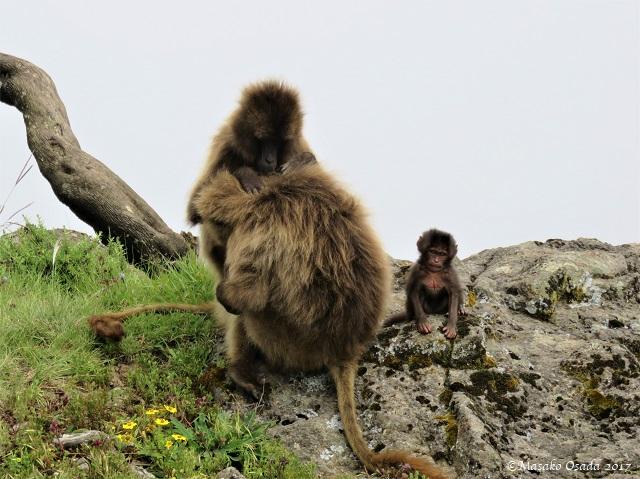 Geladas grooming
