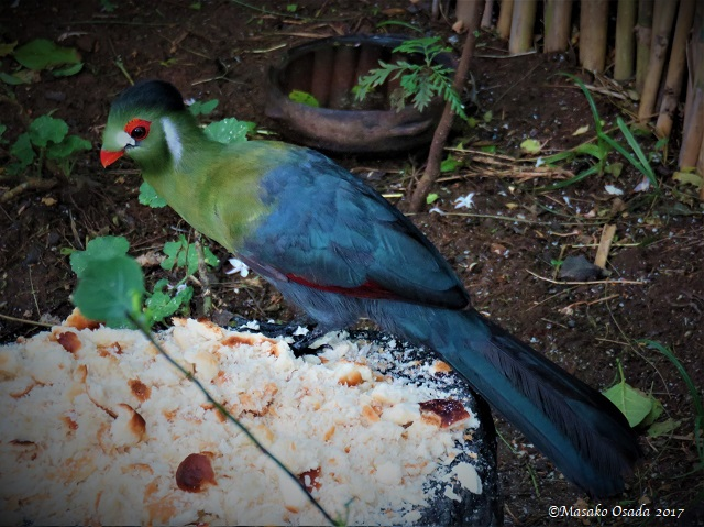 White-cheeked turaco