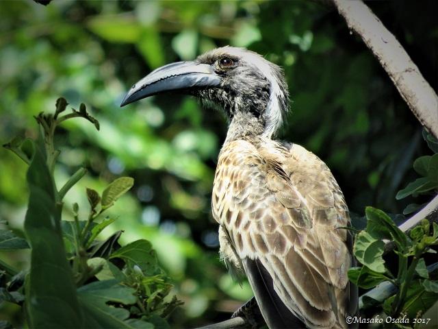 Silver-cheeked hornbill
