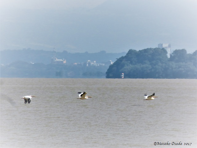 Pelicans flying over Lake Tana