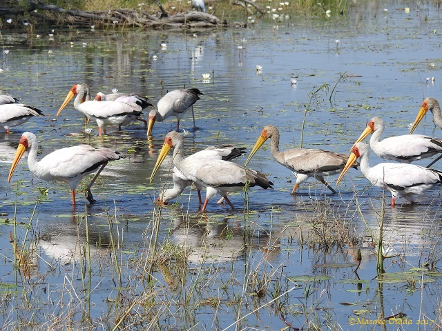 Yellow-billed storks looking for food, Khwai, Botswana, April 2017