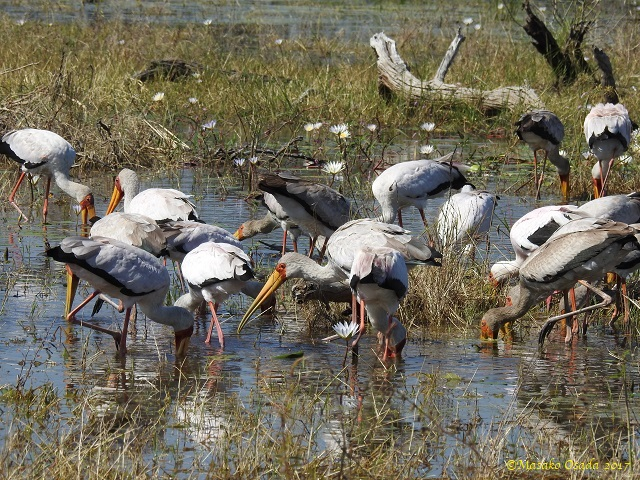 Yellow-billed storks feasting, Khwai, Botswana, April 2017