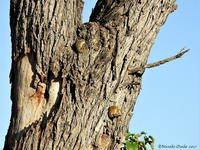Tree squirrels curling up on the tree, Khwai, Botswana, April 2017