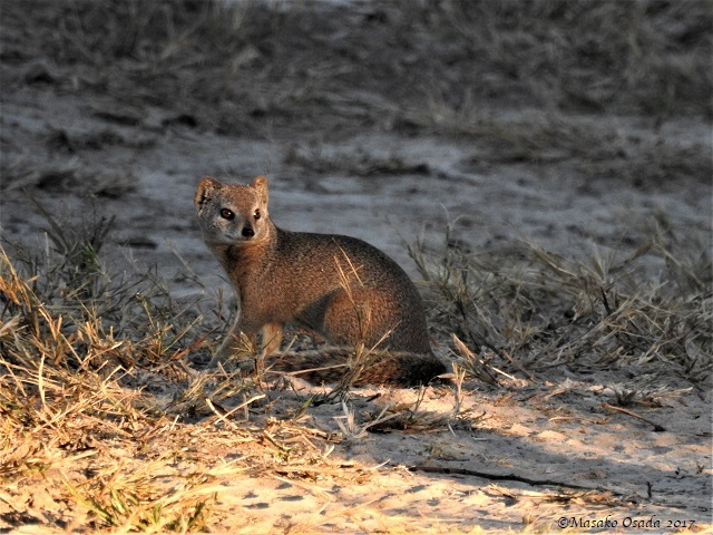 Yellow mongoose, Savuti, Botswana, April 2017