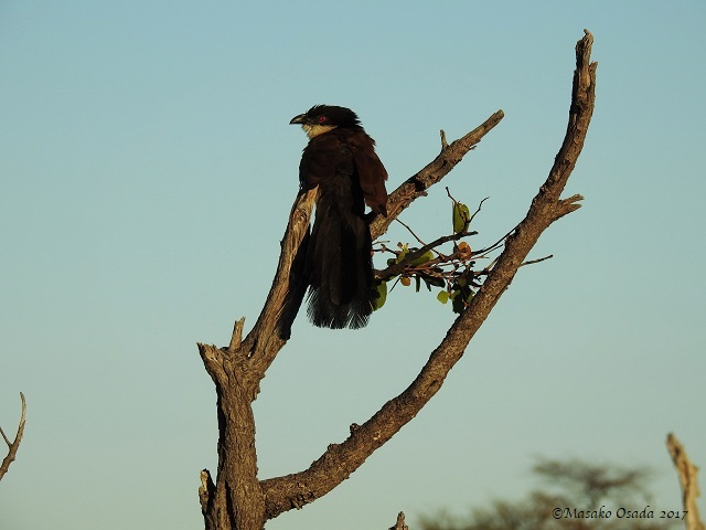 Senegal coucal, Savuti, Botswana, May 2017
