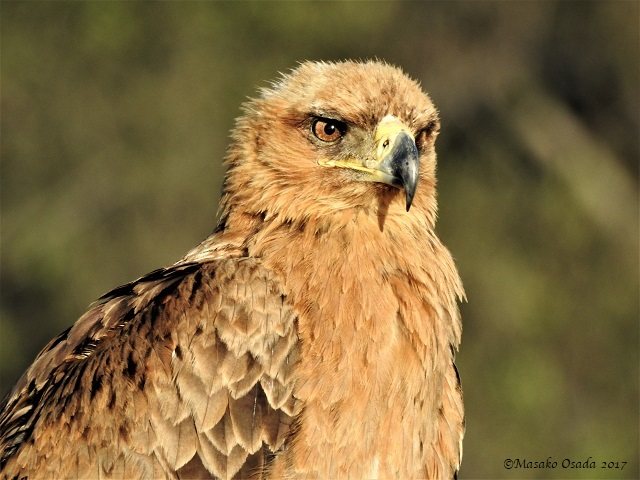 Tawny eagle, Savuti, Botswana, May 2017