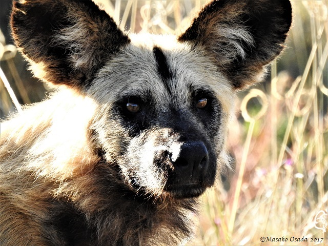 Wild dog, Savuti, Botswana, May 2017