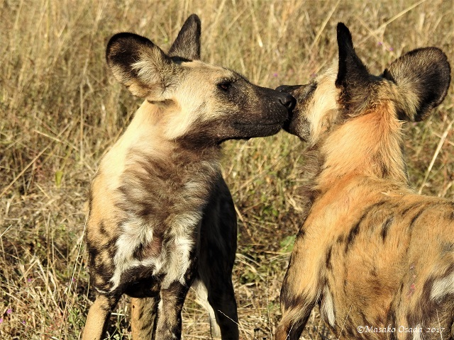 Wild dogs, Savuti, Botswana, May 2017