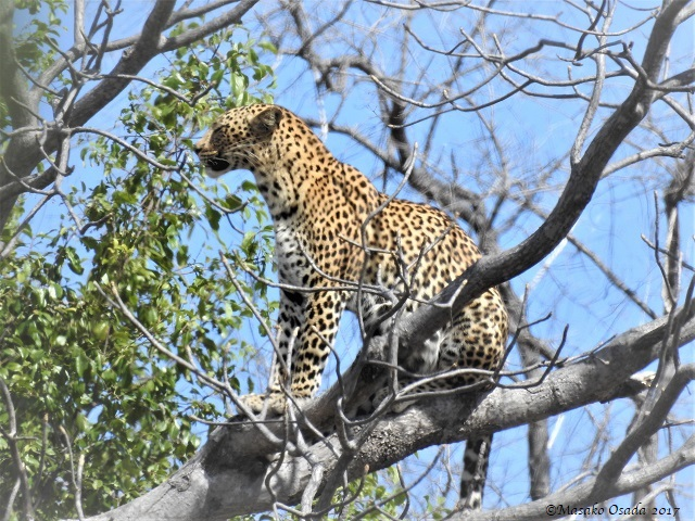 Female leopard on a tree, Savuti, Botswana, May 2017