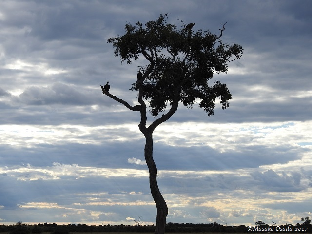 Vultures on a tree, Savuti, Botswana, May 2017