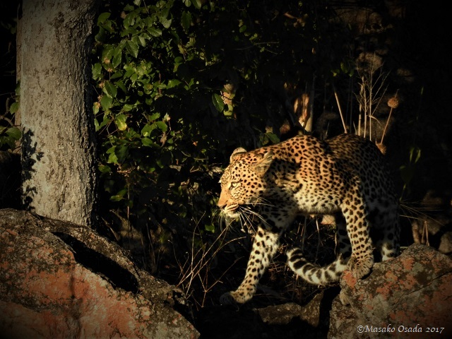 Female leopard, Savuti, Botswana, May 2017