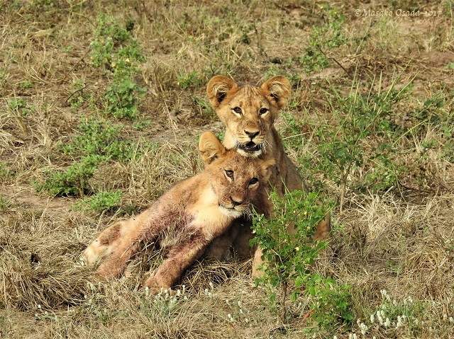 Lion cubs, after a feast on elephant, Chobe, Botswana, May 2017