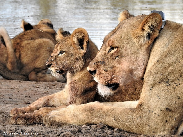 Lions relaxing after a feast on elephant, Chobe, Botswana, May 2017