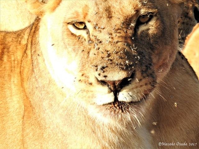 Lioness, Chobe, Botswana, May 2017