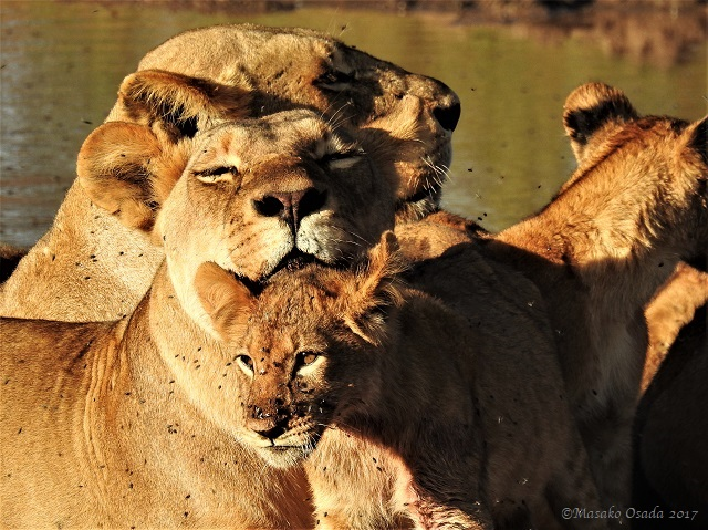 Lions relaxing after feast on elephant, Chobe, Botswana, May 2017