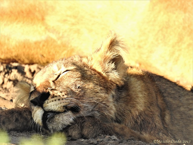 Lion cub sleeping, Chobe, Botswana, May 2017