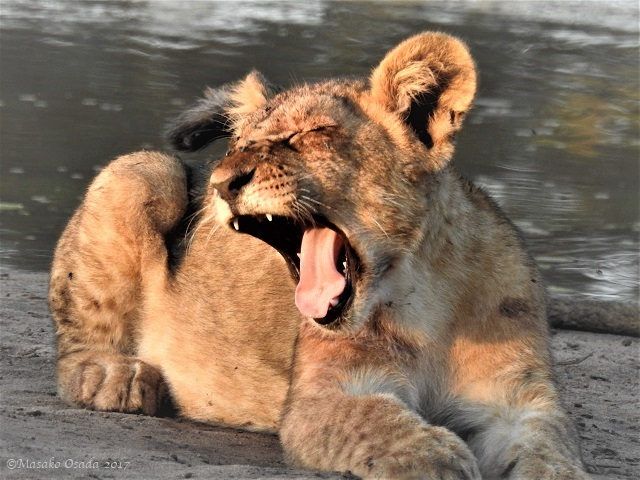 Lion cub yawning, Chobe, Botswana, May 2017