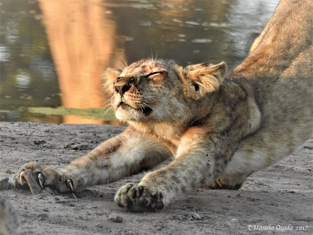 Lion cub stretching, Chobe, Botswana, May 2017