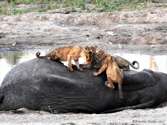 Lion cubs playing on top of elephant carcass, Chobe, Botswana, May 2017