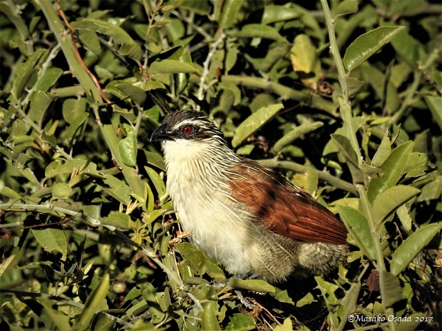 White-browed coucal, Chobe, Botswana, May 2017