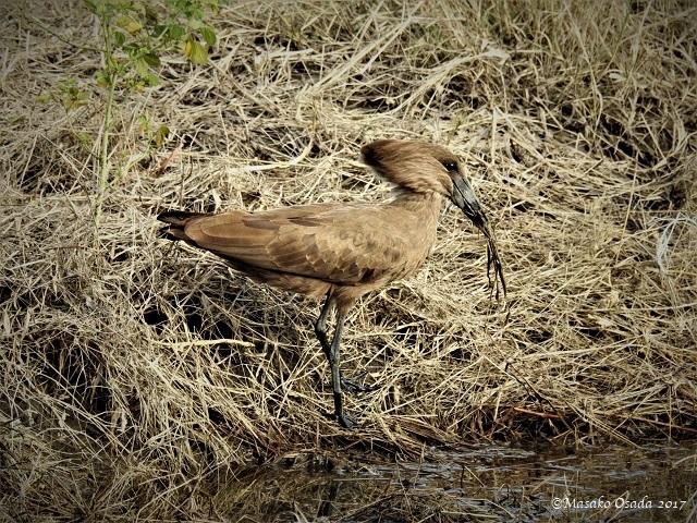 Hamerkop, Chobe, Botswana, May 2017