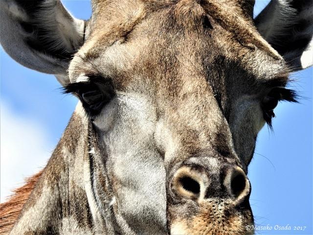 Giraffe, Chobe, Botswana, May 2017