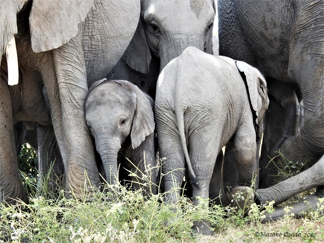 Baby elephants, Chobe, Botswana, May 2017