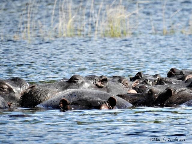 Hippos, Chobe, Botswana, May 2017