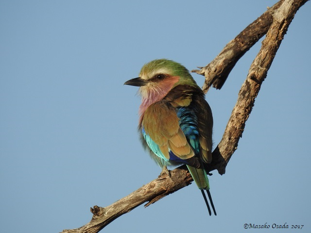 Lilac-breasted roller, Khwai, Botswana, June 2017