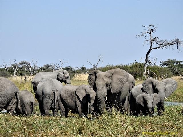 Elephants, Khwai, Botswana, June 2017